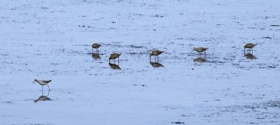 b2ap3_thumbnail_Short-billed-Dowitchers-Sept-Iles-May-2019-JJC.jpg