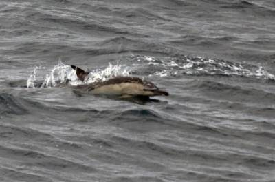 b2ap3_thumbnail_Shot-beaked-Common-Dolphin-off-SW-Ireland-May-2019-from-Saga-Sapphire-800-JJC.jpg