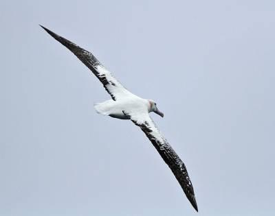 b2ap3_thumbnail_Snowy-Wandering-Albatross-JJC-2012.jpg