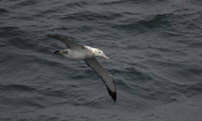 b2ap3_thumbnail_Snowy-Wandering-Albatross-imm-2-south-of-Chiloe-Is.-1280-250220-JJC_20200304-171053_1.jpg