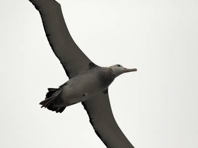 b2ap3_thumbnail_Snowy-Wandering-Albatross-imm-south-of-Chiloe-Is.-1280-250220-JJC_20201130-222047_1.jpg