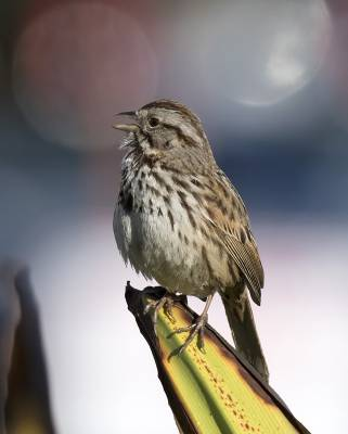 b2ap3_thumbnail_Song-Sparrow-Waterfront-Park-800-San-Diego-Feb-2019-JJC.jpg