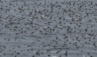 b2ap3_thumbnail_Sooty-Shearwater-Congregation-Beagle-Channel-210220-JJC.jpg
