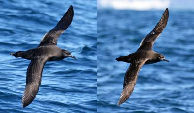 b2ap3_thumbnail_Sooty-short-tailed-comparison-shot-800-Dec2015-off-Kaikoura-JJC.jpg