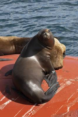 b2ap3_thumbnail_South-American-Sea-Lion-bulbous-bow-Queen-Victoria-180220-1000-JJC_20200305-172747_1.jpg