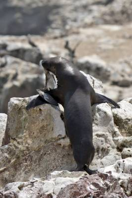 b2ap3_thumbnail_South-American-Sea-Lion-predating-a-juvenile-Peruvian-Booby-Ballestas-Islands-250217-JJC.jpg