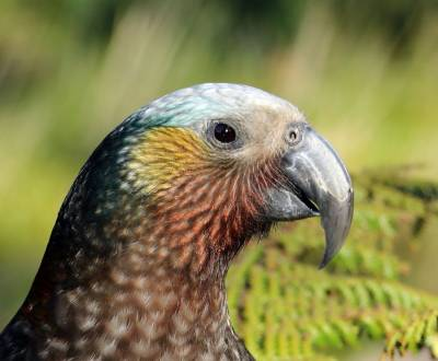 b2ap3_thumbnail_South-Island-Kaka-Nov-2015-JJC.jpg