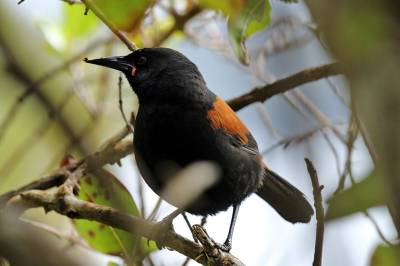 b2ap3_thumbnail_South-Island-saddleback-120-Nov-2015-JJC.jpg