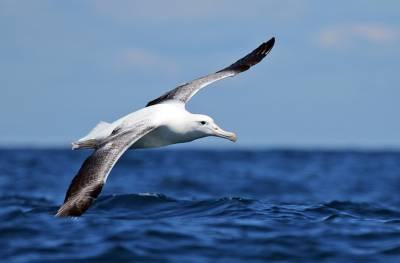 b2ap3_thumbnail_Southern-Royal-Albatross-Jeff-Clarke-2012.jpg