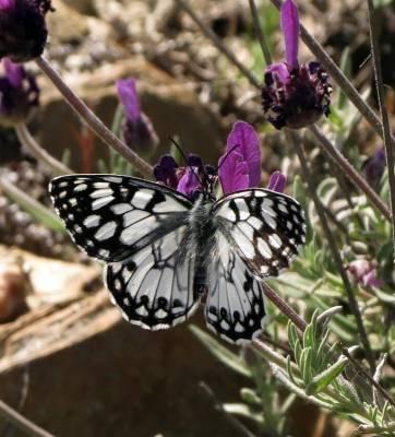 b2ap3_thumbnail_Spanish-Marbled-White-Extremadura-Laura-Bimson-May-2018.jpg