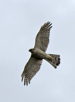 b2ap3_thumbnail_Sparrowhawk-Farlington-Marshes.jpg