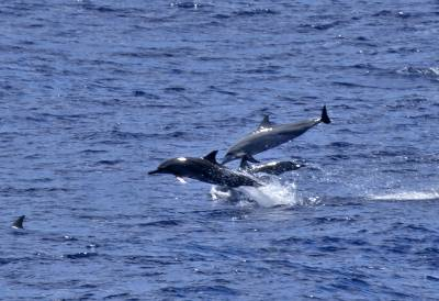 b2ap3_thumbnail_Spinner-Dolphins-off-Queensland-040318-800-JJC.jpg