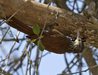 b2ap3_thumbnail_Straight-billed-Woodcreeper-cartegena-040219-800-JJC.jpg