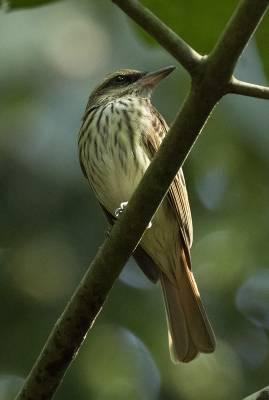 b2ap3_thumbnail_Streaked-Flycatcher-800-Carara-Reserve-080219-JJC.jpg