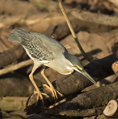 b2ap3_thumbnail_Striated-Heron-January-Lake-800-JJC.jpg