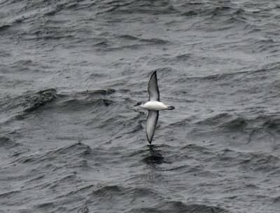 b2ap3_thumbnail_Sub-Antarctic-Little-Shearwater-Nr-Chiloe-JJC-800.jpg
