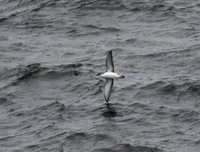b2ap3_thumbnail_Sub-Antarctic-Little-Shearwater-Nr-Chiloe-JJC-800.jpg