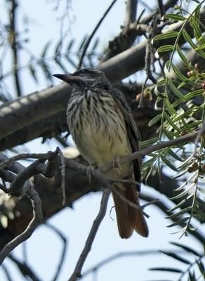 b2ap3_thumbnail_Sulphur-bellied-Flycatcher-2-800-Arica-230217-JJC.jpg