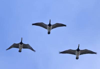 b2ap3_thumbnail_Svalbard-Barnacle-Geese-trio-060718-1280-JJC.jpg
