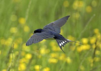 b2ap3_thumbnail_Swallow-hawking-insects-Mainland-Orkney-1280-270619-JJC.jpg