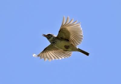 b2ap3_thumbnail_Thekla-Lark-2-in-song-flight-Extremadura-May-2018-800-JJC.jpg