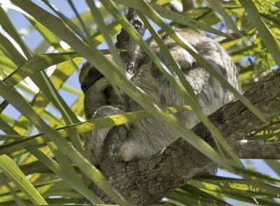 b2ap3_thumbnail_Three-toed-Sloth-Santarem-800-JJC.jpg