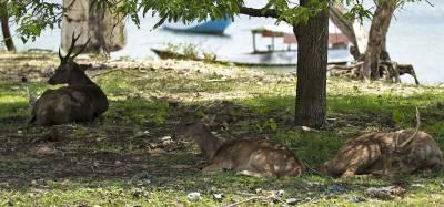 b2ap3_thumbnail_Timor-Deer-Komodo-Island-1280-Jan-2020-JJC.jpg