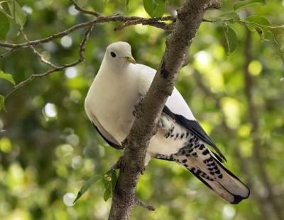b2ap3_thumbnail_Torresian-Imperial-Pigeon-cainrs-100120-1280-JJC.jpg
