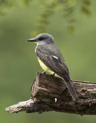 b2ap3_thumbnail_Tropical-Kingbird-Tobago-800-JJC.jpg