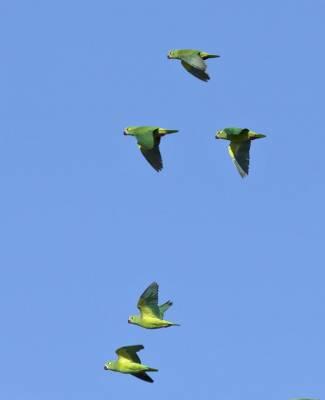 b2ap3_thumbnail_Tui-Parakeets-takatsukae-race-Santarem-1000.jpg