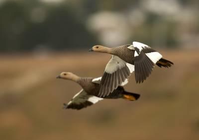 b2ap3_thumbnail_Upland-Geese-female-230220-Punta-Arenas-1280-JJC_20200305-224710_1.jpg