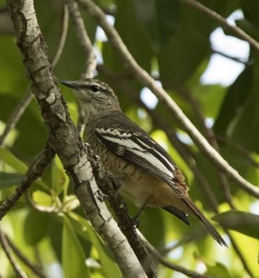 b2ap3_thumbnail_Varied-Triller-female-Darwin-1000-090318-JJC.jpg
