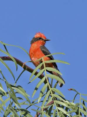 b2ap3_thumbnail_Vermillion-Flycatcher-male-Arica-800-JJC.jpg