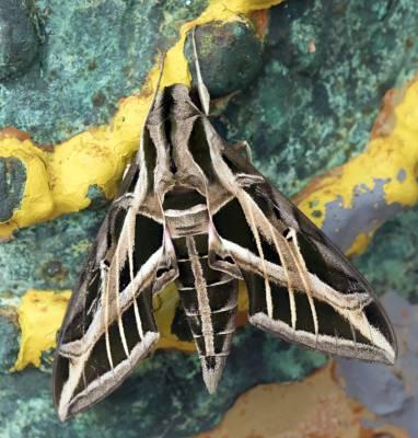 b2ap3_thumbnail_Vine-Spynx-Eumorpha-vitis.jpg