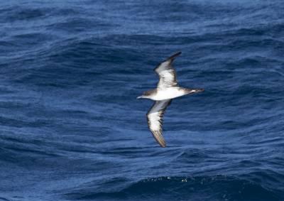 b2ap3_thumbnail_Wedge-tailed-Shearwater-off-Central-America-130219-1280-JJC.jpg