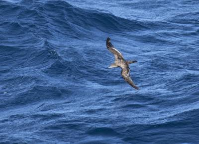 b2ap3_thumbnail_Wedge-tailed-Shearwater-off-Mexico-Feb-2019-1280-JJC.jpg