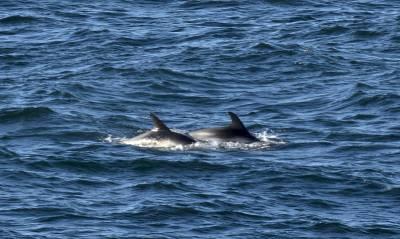 b2ap3_thumbnail_White-beaked-Dolphin-off-Longyearbyen-060718-800-JJC.jpg