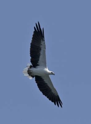 b2ap3_thumbnail_White-bellied-Sea-Eagle-Komodo-Island-Jan-2020-JJC.jpg