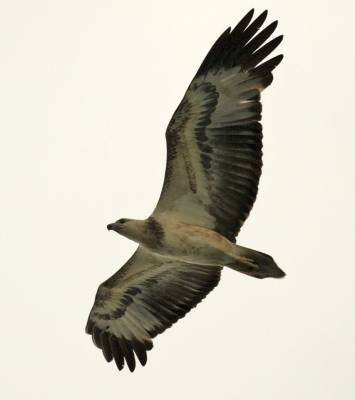 b2ap3_thumbnail_White-bellied-Sea-Eagle-juv-2-Singapore-1000-160318-JJC.jpg