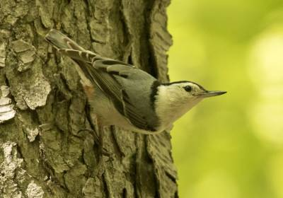 b2ap3_thumbnail_White-breasted-Nuthatch-260519-Mont-Royal-1000-JJC.jpg