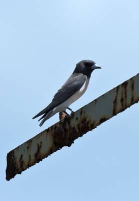 b2ap3_thumbnail_White-breasted-Woodswallow-090318-Darwin-1000-JJC.jpg