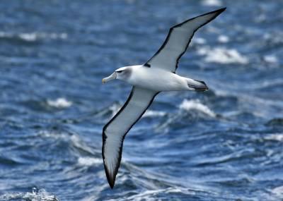 b2ap3_thumbnail_White-capped-Albatross-2-off-Stewart-Island-Nov-2015-1280-JJC.jpg