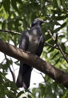 b2ap3_thumbnail_White-crowned-Pigeon-Tortola.jpg