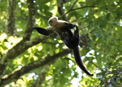 b2ap3_thumbnail_White-feaced-Capuchin-monkey-leaping-Carara-Reserve-080219-1280-JJC.jpg