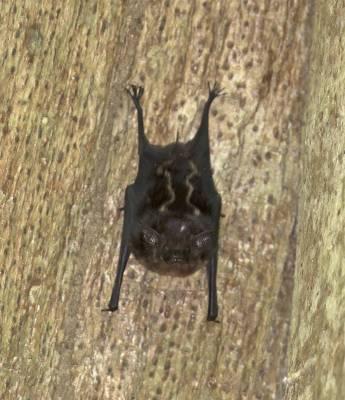 b2ap3_thumbnail_White-lined-Bat-sp.-Carara-Reserve-080219-800vert-JJC.jpg