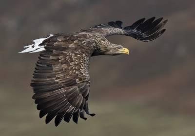 b2ap3_thumbnail_White-tailed-Eagle-3-adult-Mull-270920-JJC-1280.jpg