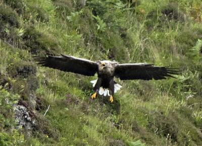 b2ap3_thumbnail_White-tailed-Eagle-Mull.jpg