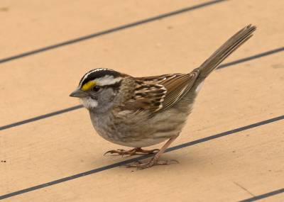 b2ap3_thumbnail_White-throated-Sparrow-Saga-Sapphire-off-Newfoundland-May-2019-1280-JJC.jpg