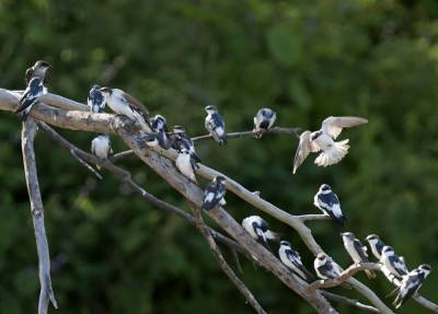 b2ap3_thumbnail_White-winged-Swallows-January-Lake-800-JJC.jpg