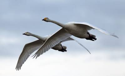 b2ap3_thumbnail_Whoopers-in-flight-Adult-and-young-Caerlaverock-800-280216-JJC.jpg